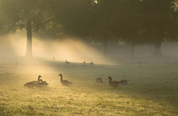 Geese in the sunlight on a foggy, autumn morning in a park.