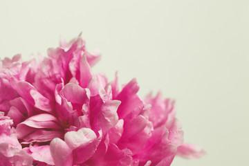 macro image of a pink peony