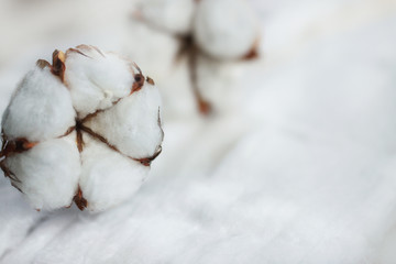 Delicate white flowers of cotton on a wooden Board. Beautiful natural background.