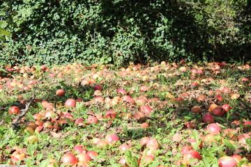 le champ de pommes