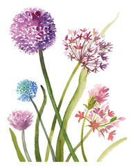Hand painted sketch composition of purple allium flowers, watercolor illustration isolated on white background. Watercolor sketch illustration of allium flowers on white background