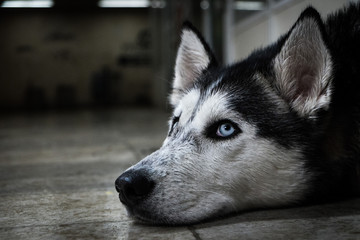 Sad Husky Dog Lying On The Floor