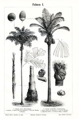 Palms I (from Meyers Lexikon, 1896, 13/442/443)