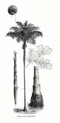 Solitary fishtail palm (Caryota urens)  (from Meyers Lexikon, 1896, 13/442/443)