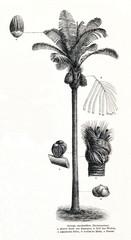 Sugar palm (Arenga pinnata) (from Meyers Lexikon, 1896, 13/442/443)
