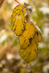 snow on the yellow leaves of the raspberry bush