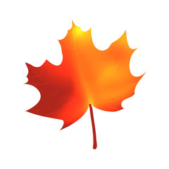 Autumnal maple leaf on white background, isolated, vector illustration