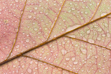 Raindrops cover a color-changing oak leaf in Autumn