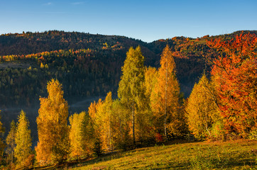forest with yellow foliage on hillside. beautiful autumnal morning in mountains