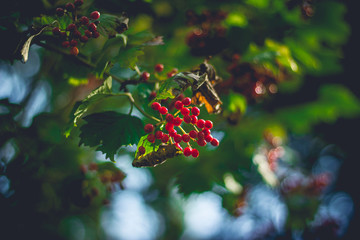 Red cranberries on branch with blurred background
