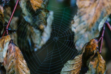 Spider web and autumn leaves.