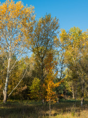 trees in the autumn deciduous forest
