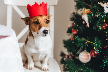 Small dog of jack russell breed poses against decorated fir tree, sits on armchair, being symbol of New Year. Funny pet being indoors. Celebration, winter, holidays, symbol and decorations concept
