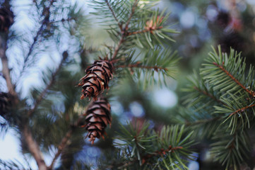 Pinecones in a tree