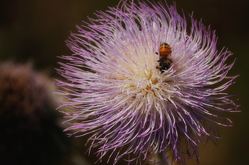 Bug On A Thistle Flower