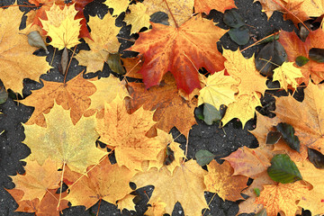 Fallen maple leaves background