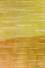 Birch bark patterns, closeup