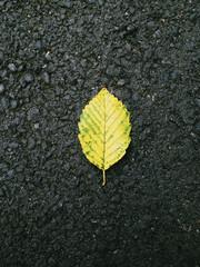 Close up of alder leaf in autumn