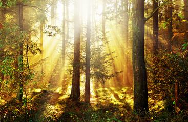 Sonnenstrahlen brechen sich im herbstlichen Morgennebel zwischen den Bäumen im Gegenlicht, norddeutscher Mischwald