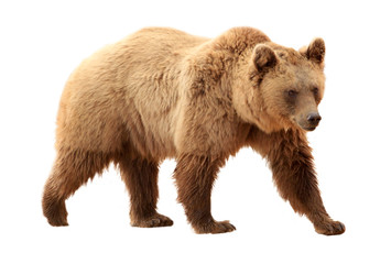Brown bear on white background Wall mural