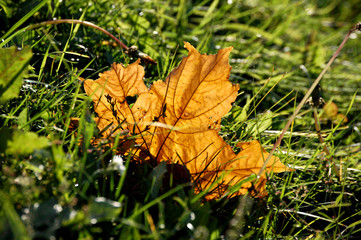 Yellow autumn maple leaf in green grass