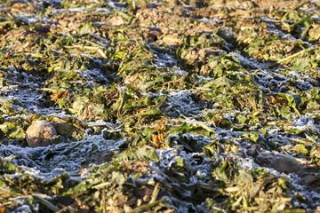beetroot frozen crops