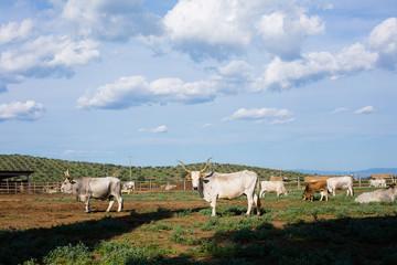 Maremmana cows and bull under blue sky