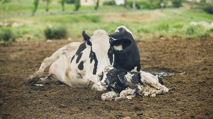 Cow birth