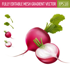 Radish on white background. Vector illustration