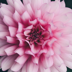 macro image of a pink dahlia