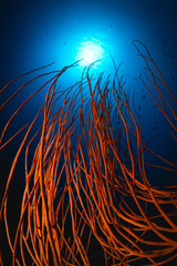 Whip coral background
