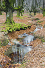 Beautiful beech forest with a stream