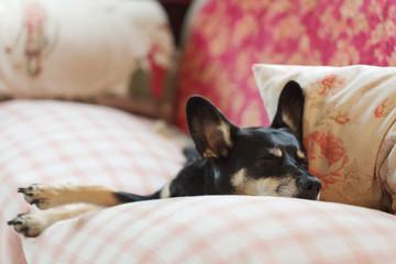 Little dog sleeping hard on sofa