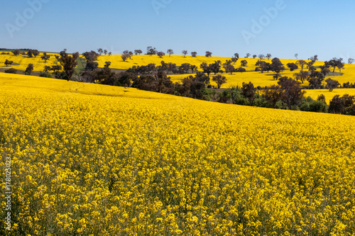Bright yellow flowers of the canola crop turn the rolling hillsides bright yellow flowers of the canola crop turn the rolling hillsides into fields of gold mightylinksfo