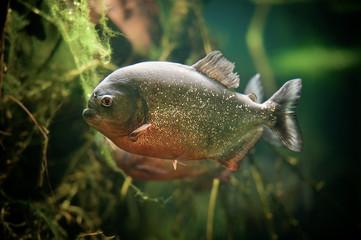 Pirahna fish