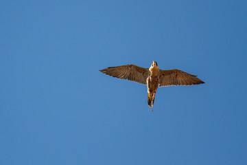 Halcón Peregrino en vuelo. Falco peregrinus. Cetrería. Altanería.