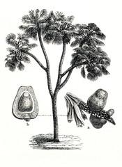 Doum palm (Hyphaene thebaica) (from Meyers Lexikon, 1896, 13/442/443)