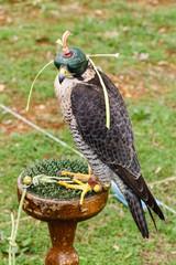 Halcón Peregrino con caperuza. Falco peregrinus. Cetrería.