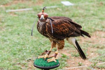 Águila Harris con caperuza. Parabuteo unicinctus. Cetrería.