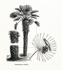 Mediterranean dwarf palm (Chamaerops humilis) (from Meyers Lexikon, 1896, 13/442/443)