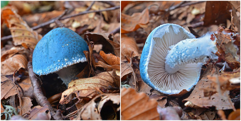 stropharia cyanea mushroom
