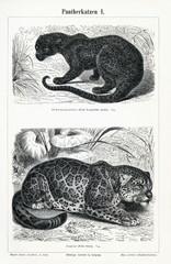 Genus Panthera I (from Meyers Lexikon, 1896, 13/466/467)