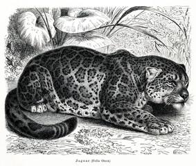 Jaguar (Panthera onca) (from Meyers Lexikon, 1896, 13/466/467)