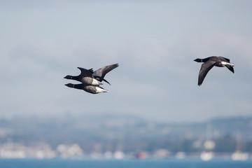 Brent Goose, Branta bernicla - Dawlish Warren, England
