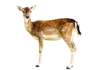 Poster de jardin Cerf Roe deer