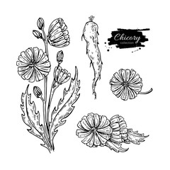 Chicory flower, root and seed vector superfood drawing set. Isol