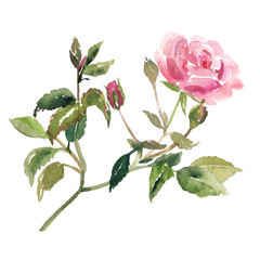 Hand painted sketch of pink rose flower with buds, stem and leaves, watercolor illustration isolated on white background. Watercolor sketch illustration of pink rose flower on white background