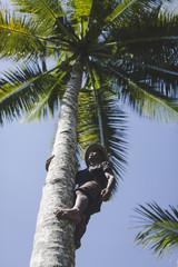 Man harvesting coconut