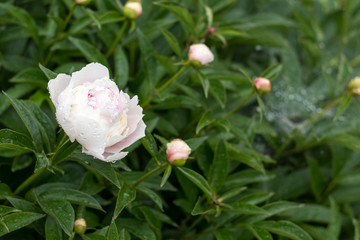 Showy peony flower with dew drops