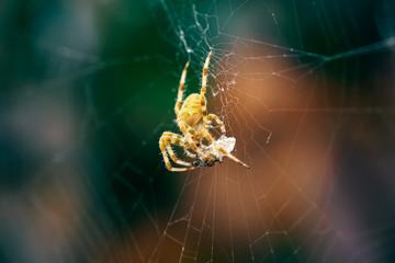 European Cross Spider (Araneus Diadematus) On Web Eating Prey